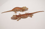 Red/Orange Striped Baby Gargoyle Gecko Special