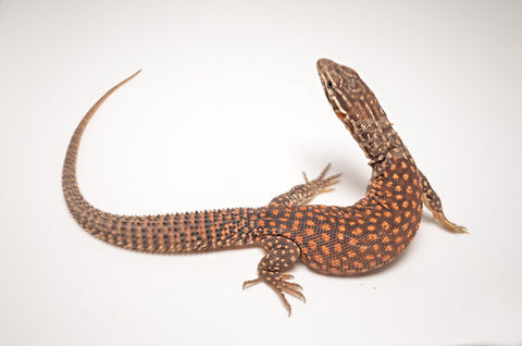 Red Ackie Monitor Lizard