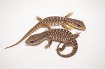 Baby Savannah Monitor