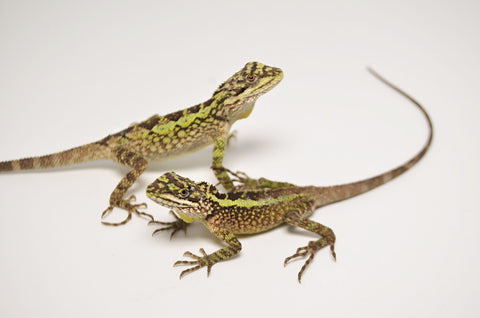 Dragon Agama
