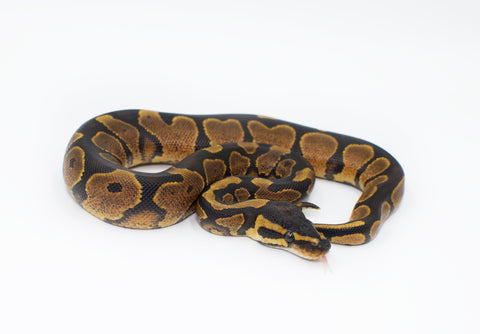 Black Head Spider Yellowbelly Possible Orange Dream Ball Python