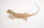 Baby Citrus Bearded Dragon