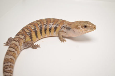 Swedish Line Northern Blue Tongue Skink Special