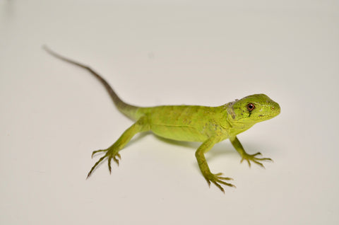 Baby Banana Phase Spiny Tailed Iguana