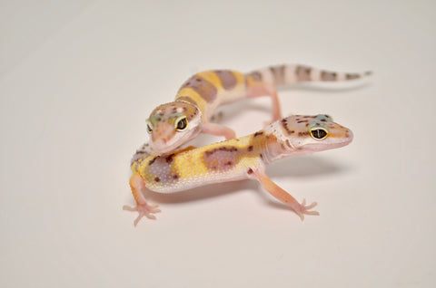 Baby Normal Leopard Gecko