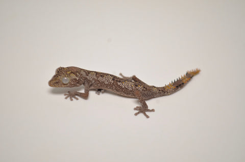 Northern Spiny Tailed Gecko