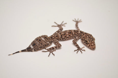 Riverine Leaf Tailed Gecko
