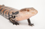 Baby Halmahera Blue Tongue Skink #1