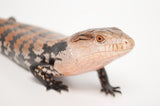 Halmahera Blue Tongue Skink Special