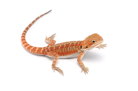 High Color Baby Bearded Dragon