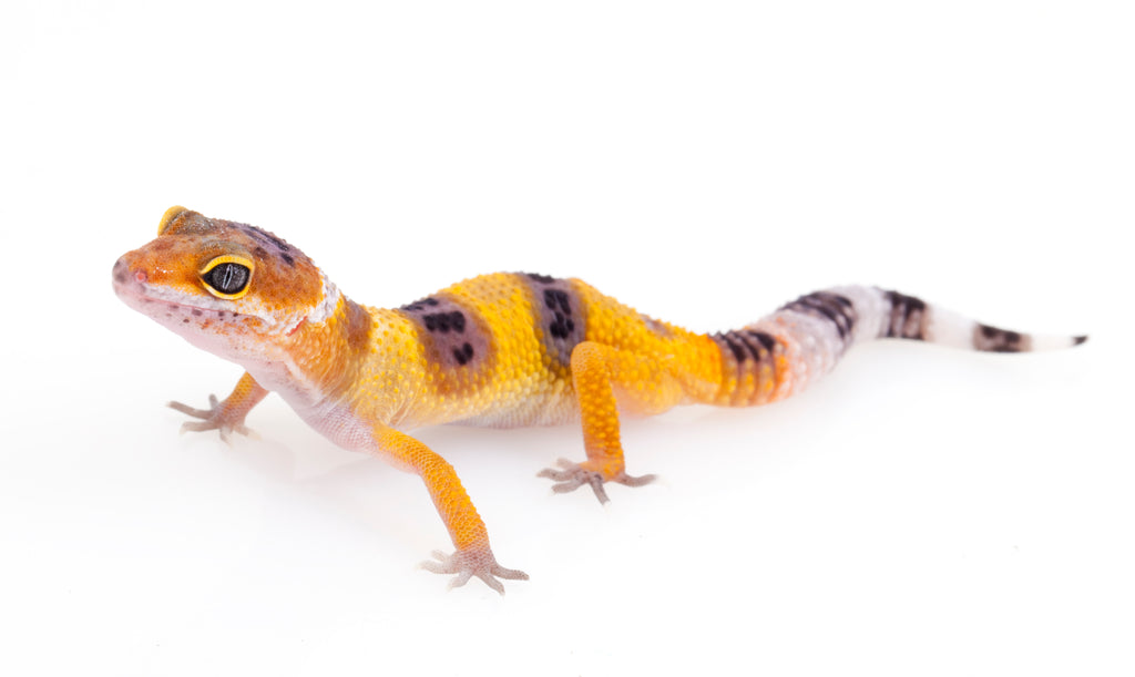 Baby Tangerine Leopard Gecko for sale � TikisGeckos