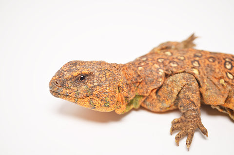 Oscellated Uromastyx