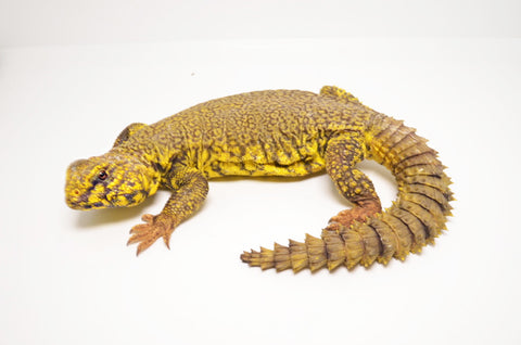 Yellow Niger Uromastyx