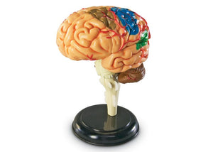 Anatomy Model - Brain