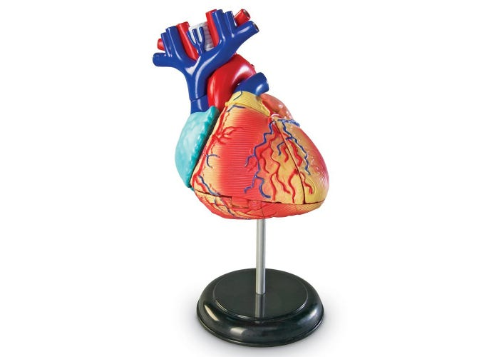 Anatomy Model - Heart