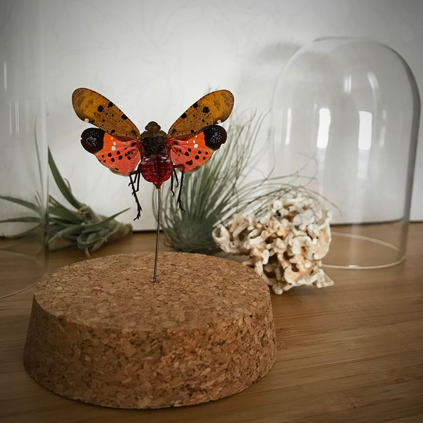 Jeweled Lanterfly Bell Jar Entomology - curiosity, taxidermy, unique gifts, framed art, home decor