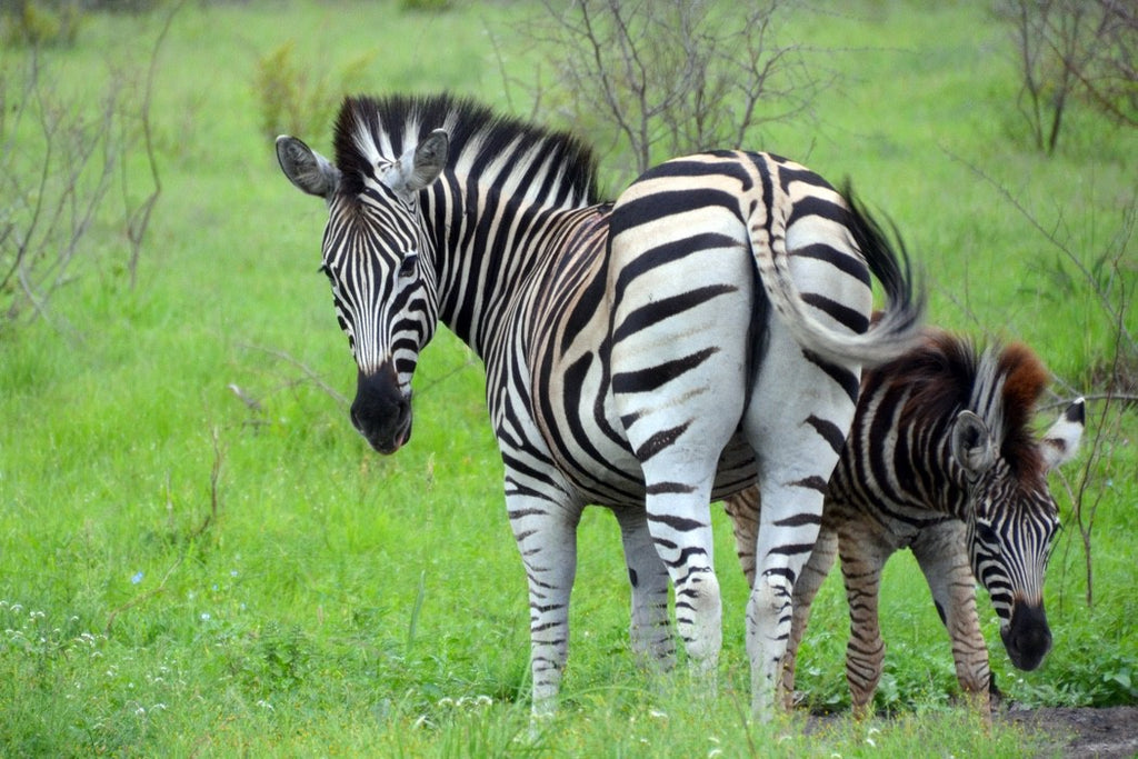 Maternal Stripes