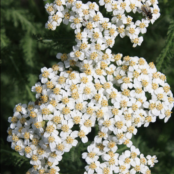 many flowered yarrow