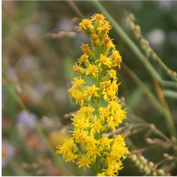 Mountain Goldenrod