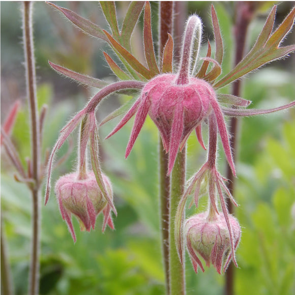 Three Flowered Avens