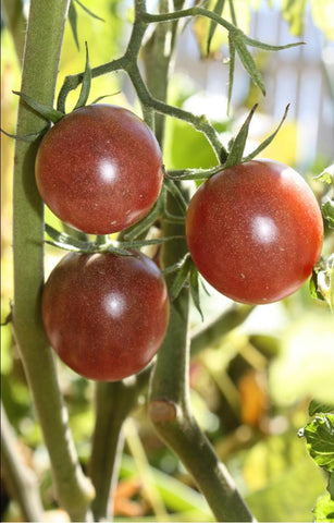 Black Cherry heirloom tomato seeds