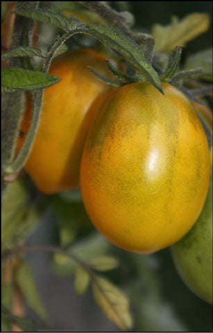 Fargo Yellow Pear  rare heirloom Tomato