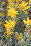 Hairy Golden Aster