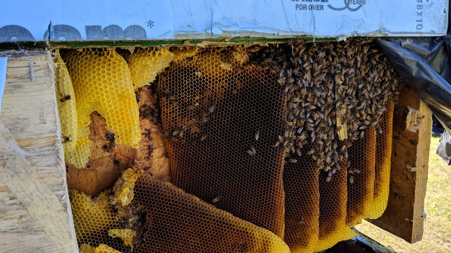 Swarm removal vs. bee cut out and removal