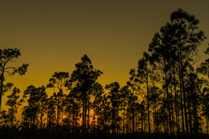 Pines of the Everglades