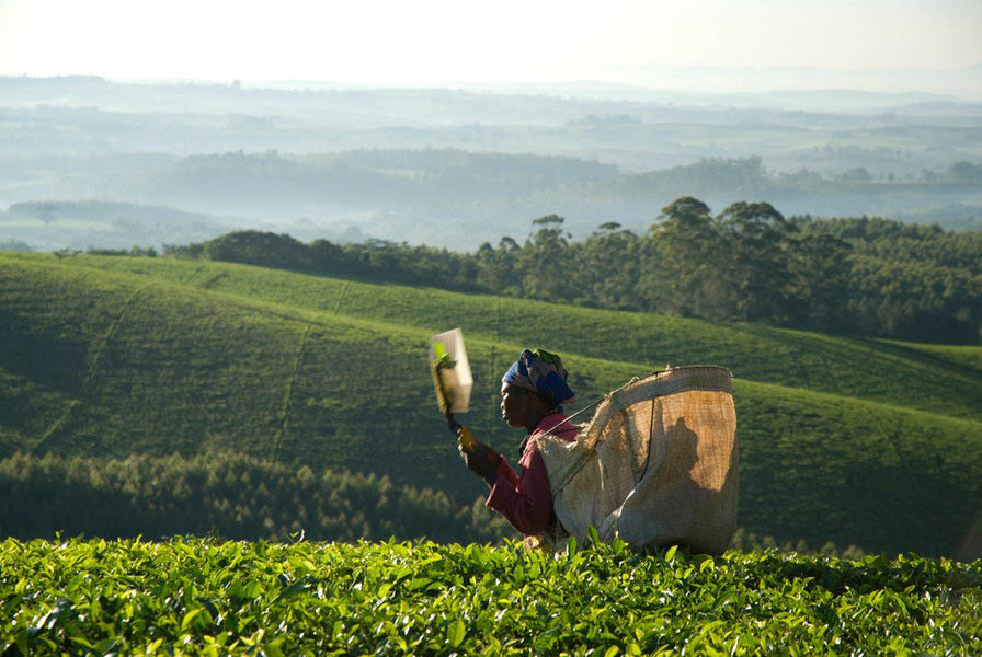 Tea Master Profile: Satemwa Tea Estate - Malawi