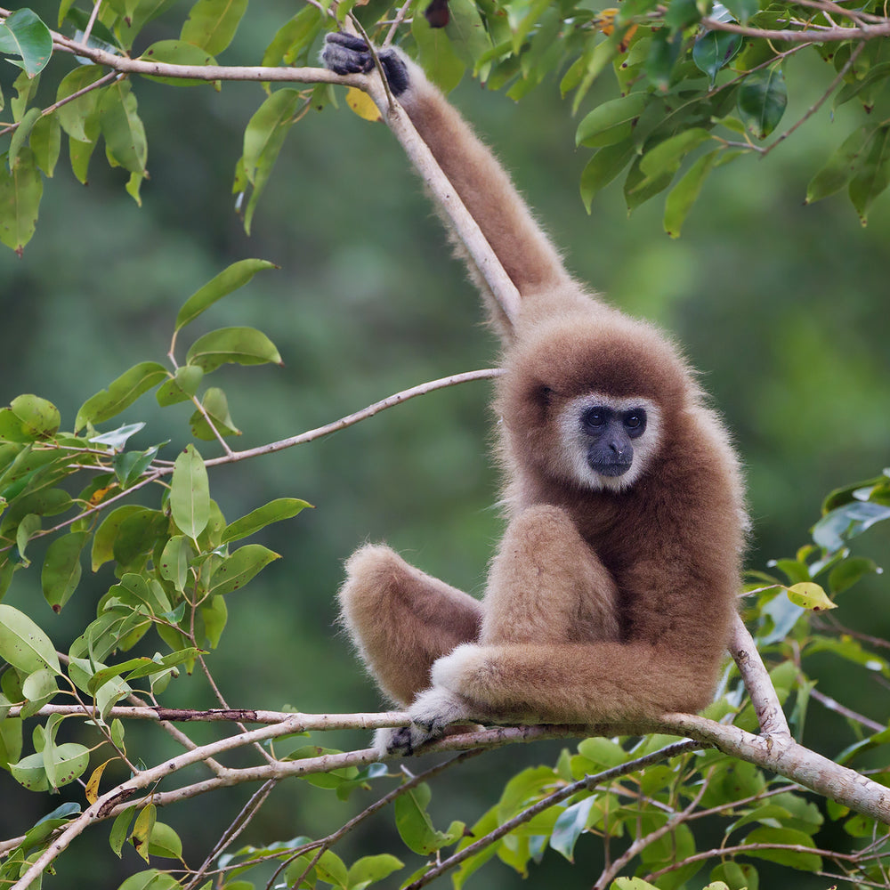 Wildlife Wednesday: Gibbons