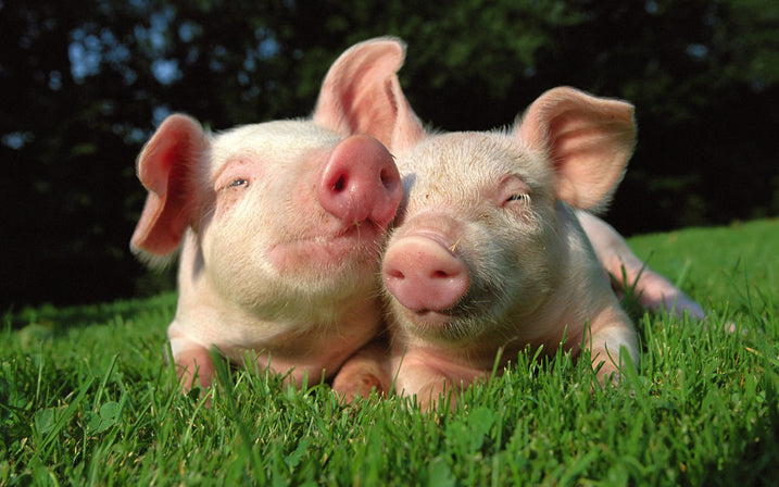 OMUNKY Clothing Co  - Interesting Pig Facts