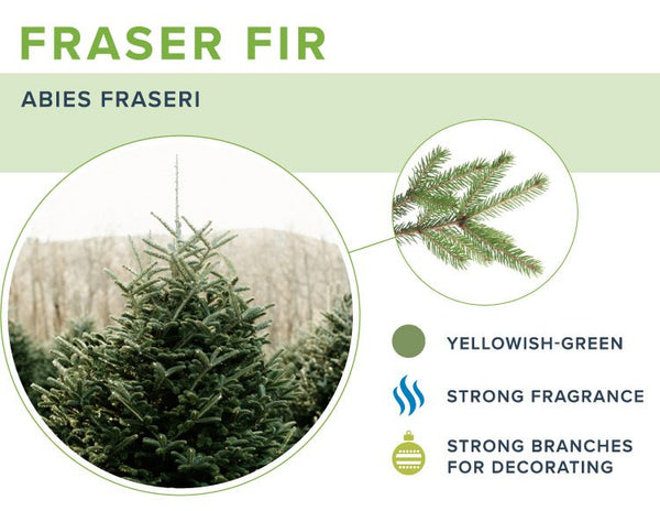 Christmas trees-firs