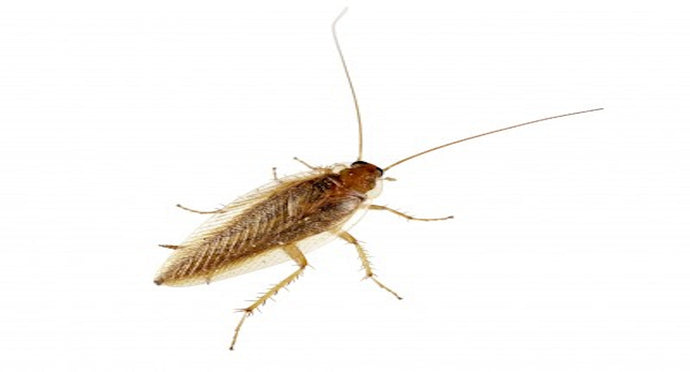 Get Rid of German Roaches Without Sprays: 5 Step Guide