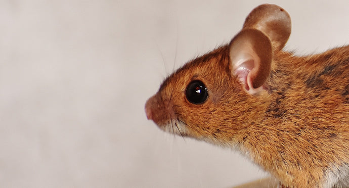 Get Rid of Mice and Rats in 4 Easy Steps