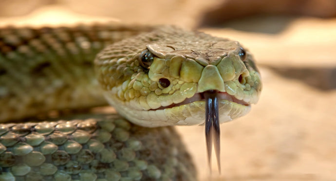 Chances of Dying from a Snake Bite May Be Greater Than You Think