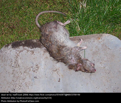Expert Rat Trapping