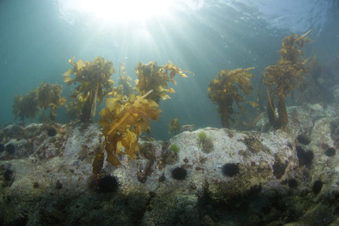 Mekabu seaweed in it's ocean environment
