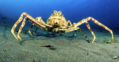 Japanese Giant Spider Crab photo