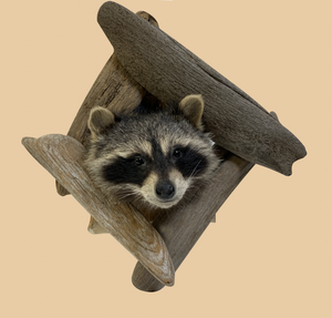 Peeping Raccoon Head - Rusty Moose Marketplace