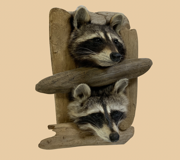 Double Peeping Raccoon Heads - Rusty Moose Marketplace