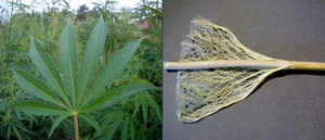 Hemp Batteries?! Hemp Outperforms Supercapacitors like Graphene up to 200%