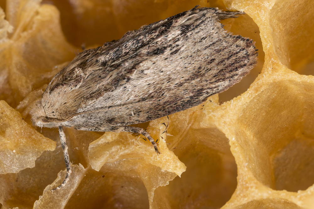 What is wax moth and how to protect against them?