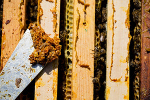 What is propolis, its uses and how to collect it?