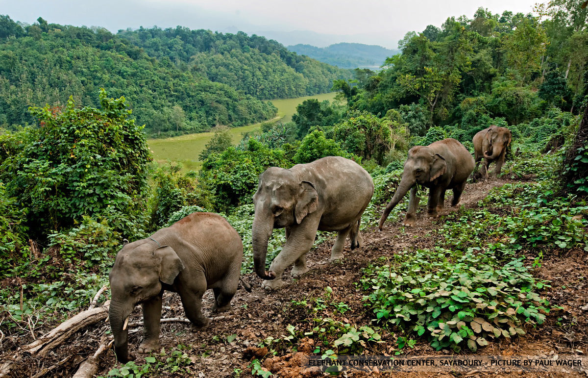 Herd of elephants foraging in forest