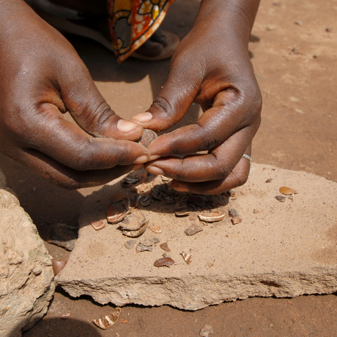 hands shelling shea nuts on stone