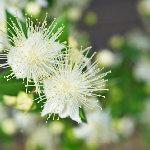 myrtle plant with white flowers
