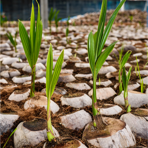 coconut plants sprouting from the ground