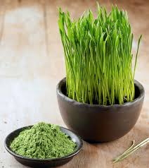 shoots of wheatgrass
