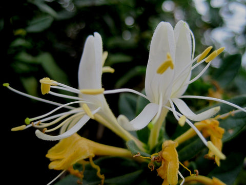 honeysuckle flower extract